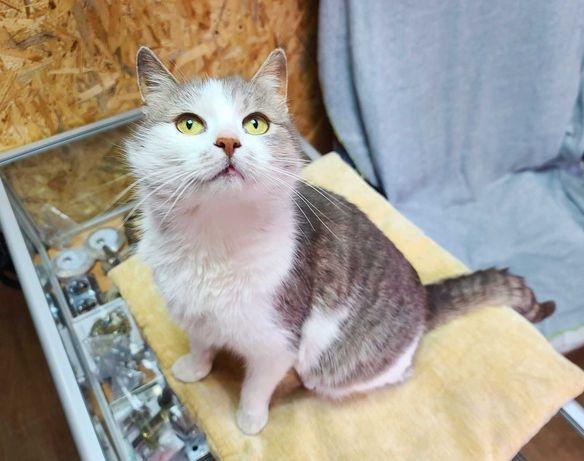 Милашка-улыбашка серо-беленькая Нюша ждет вас! кошка кот котенок