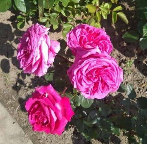 Róże w doniczkach, różne odmiany i kolory, hurt detal