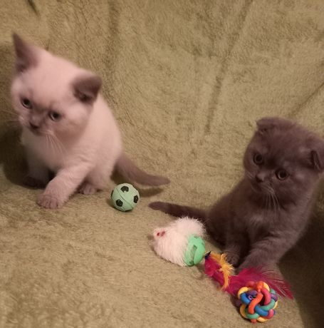 Шотландские котята мальчики