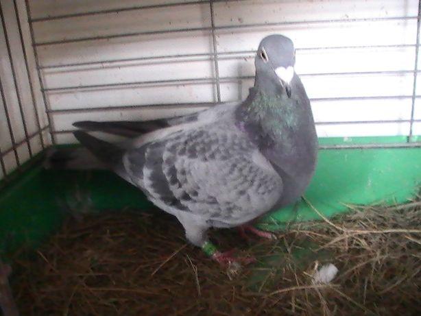 Gołębie pocztowe szali 0-18