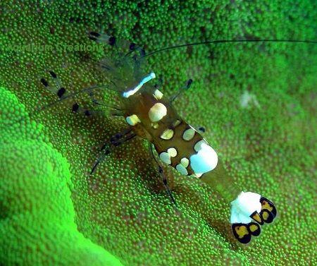 Akwarium morskie - Periclimenes brevicarpalis