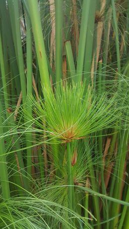 Pés de Papiro para plantar (lago ou jardim)- vassourinhas