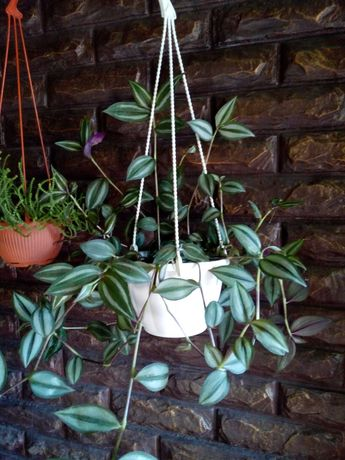 Комнатные растения традесканция изолепис нематантус сансевиерия