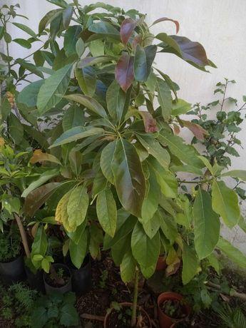 Vendo abacateiros