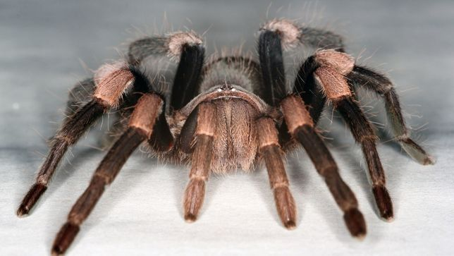tarantula Himalayan earth tiger