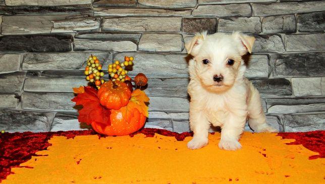White-Gold Golddust Yorkshire Terrier York nie Biewer