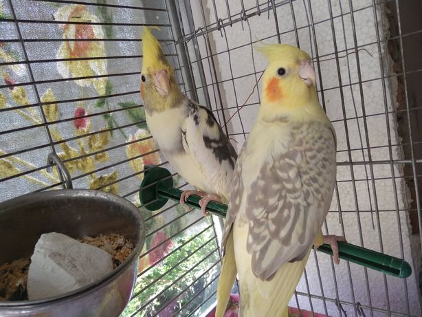 Говорящий попугай Корелла