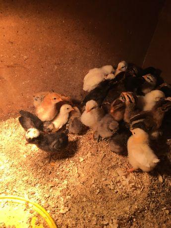 Kurczaki silki, czubatki, karzełka łapciatego i młode pawie