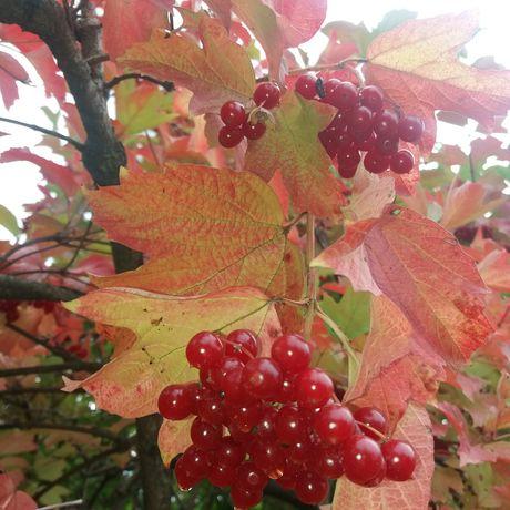 Калина ягоды ягода свежая свіжа