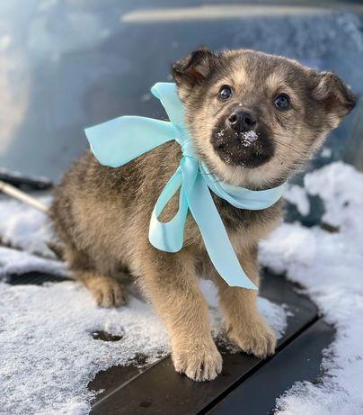 Дружелюбный и веселый мальчишка Росик, щенок 2 месяца