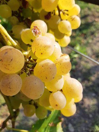 Winogron!Sadzonki 70cm! złota chrupka,Perła ZALI!Odmiany Bezpestkowe