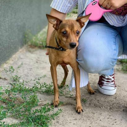 Той терьер Дюк ищет своего человека щенок щенки щенята пес щеночки