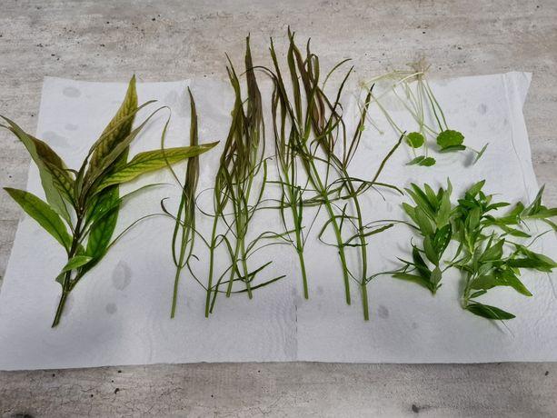 Rośliny z przycinki, hygrophila, pogostemon, staurogene, hydrocotyle.
