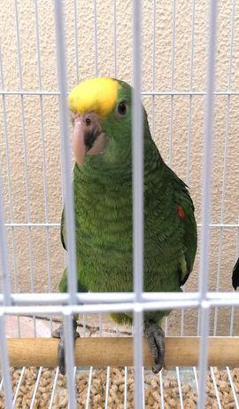 Papagaios oratrix