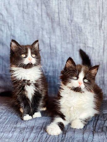 Котята  пушистые  мальчик и девочка  10 недель. привиты