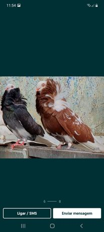 Pombos capuchinho