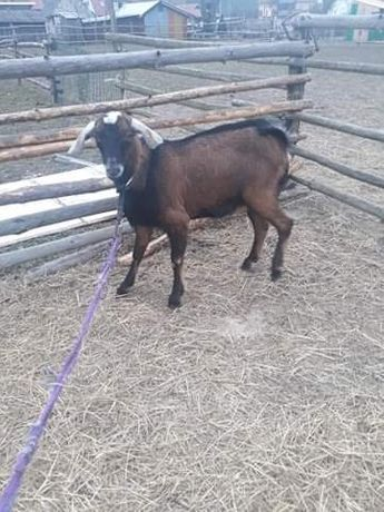 Sprzedam koze cap