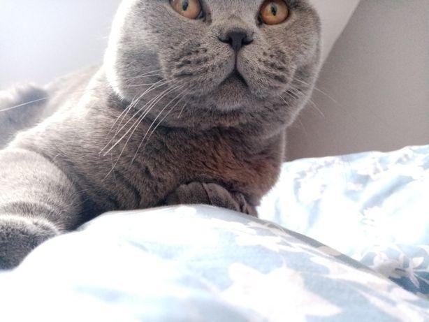 Kot Brytyjski krótkowłosy niebieski REPRODUKTOR