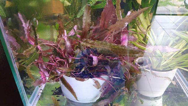 Rośliny akwariowe - Kryptokoryna Tropica, Cryptocoryne Wendtii Tropica