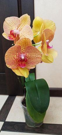 Орхидея домашняя красотка