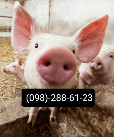 Продам свиней...