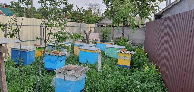 Пчелы. Продаю 5 семей украинской степной пчелы