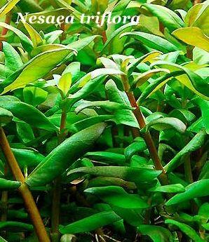 Nesaea triflora