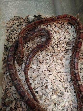 Wąż zbożowy podrostek