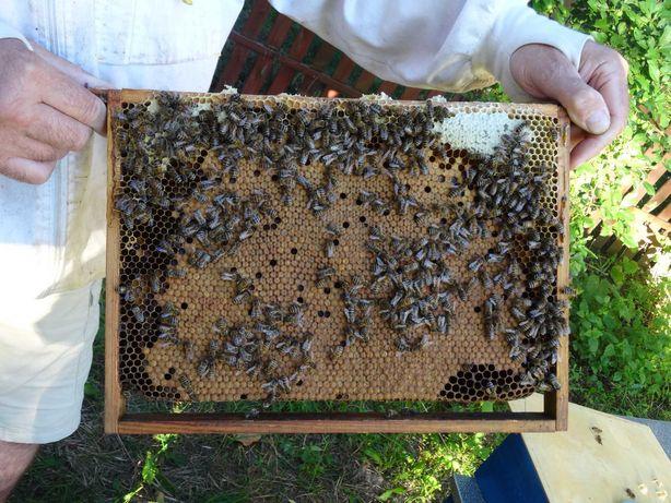 Odkłady pszczele, Matki pszczele, Pszczoły, Świetna Jakość