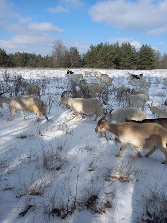 Козы дойные, цапы племенные,козлята