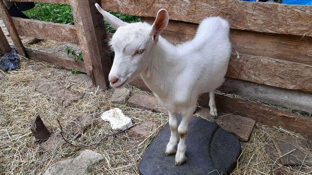 Koza, 3-miesięczne koziołki