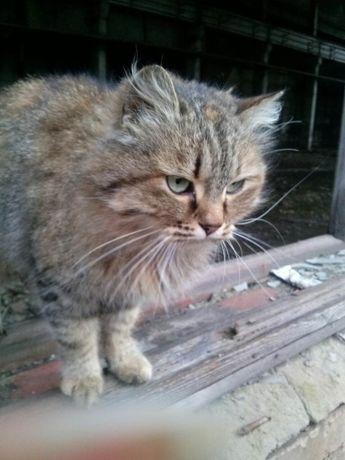 отдам пушистую сибирскую кошку, 1 год