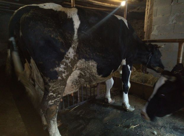 Продам корову Голштин