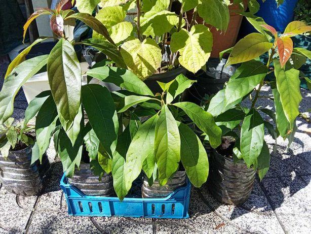 Arvore de Abacate