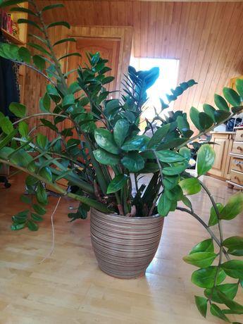 Zamiokulkas roślina doniczkowa