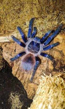 розпродажа тарантул паук птицеед pterinopelma sazimai павук птахоїд