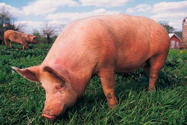 Свиня , годована без преміксів