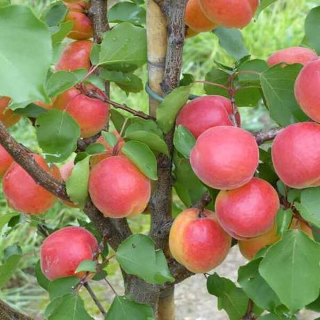 Карликові саджанці абрикоса Біг Ред  / Саженцы абрикоса Биг Рэд