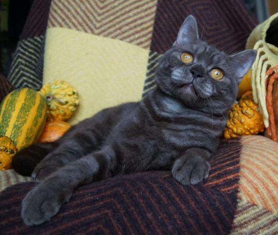 """Смешной непоседа, котенок-страйт в """"конфетной"""" шубке"""