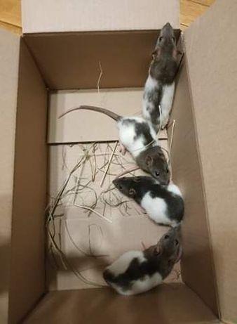 Oddam 6 tygodniowe szczury