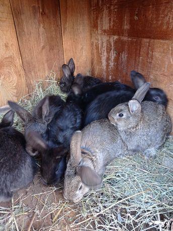 Кролики домашні 7 тижнів