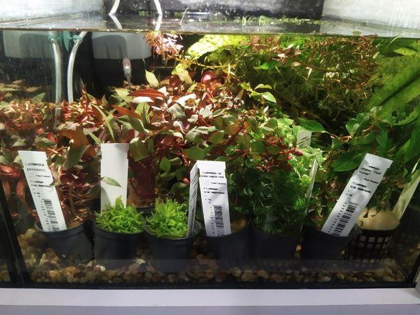 Rośliny akwariowe: Anubias, Ludwigia, Valisneria, Alternanthera itd.