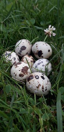 Jajka przepiórcze