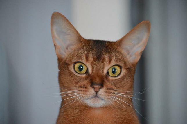 Zaginął Kotek kot abisyński poszukiwany