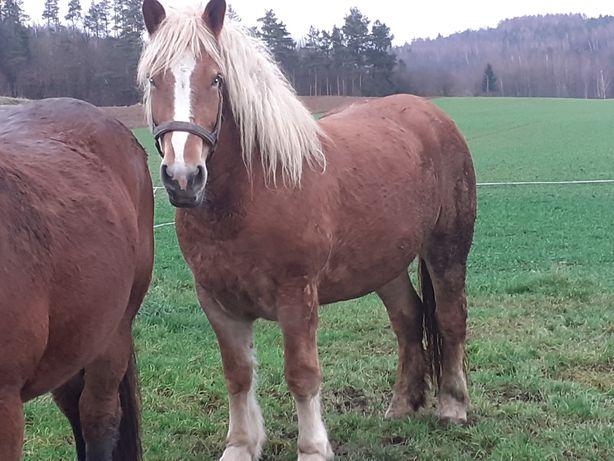 Klacz Koń Zimnokrwista