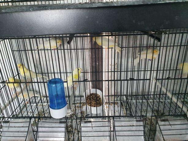 Vendo canários amarelos mosaicos
