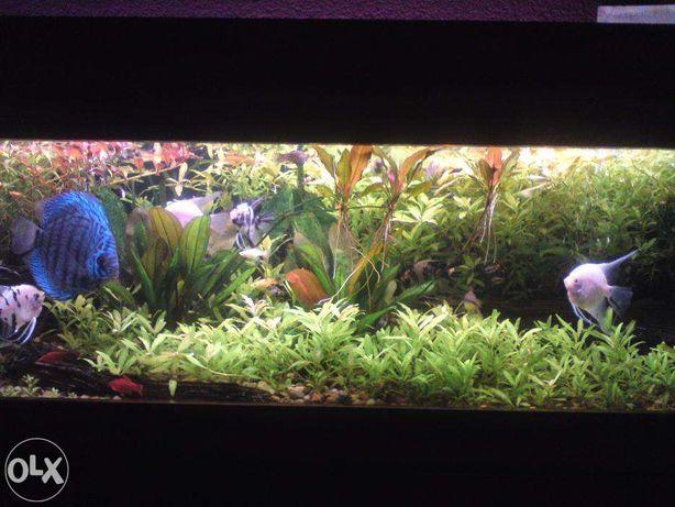 GB hygrophilia różne odmiany roślina akwariowa