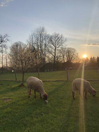 Barany i Owce okazja!!!