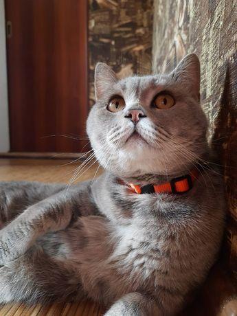 Шотландський кіт для вязки
