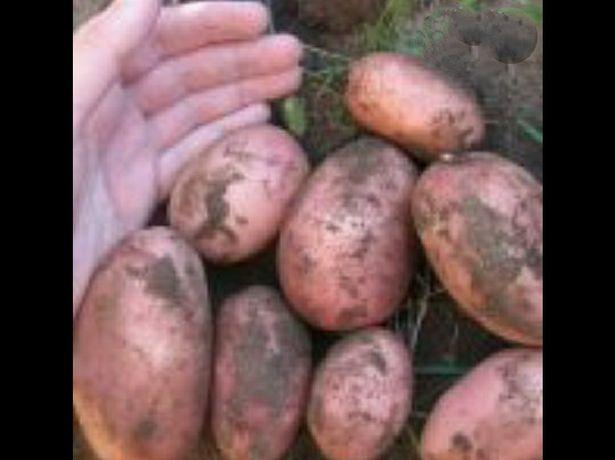 Продам картоплю Славянка